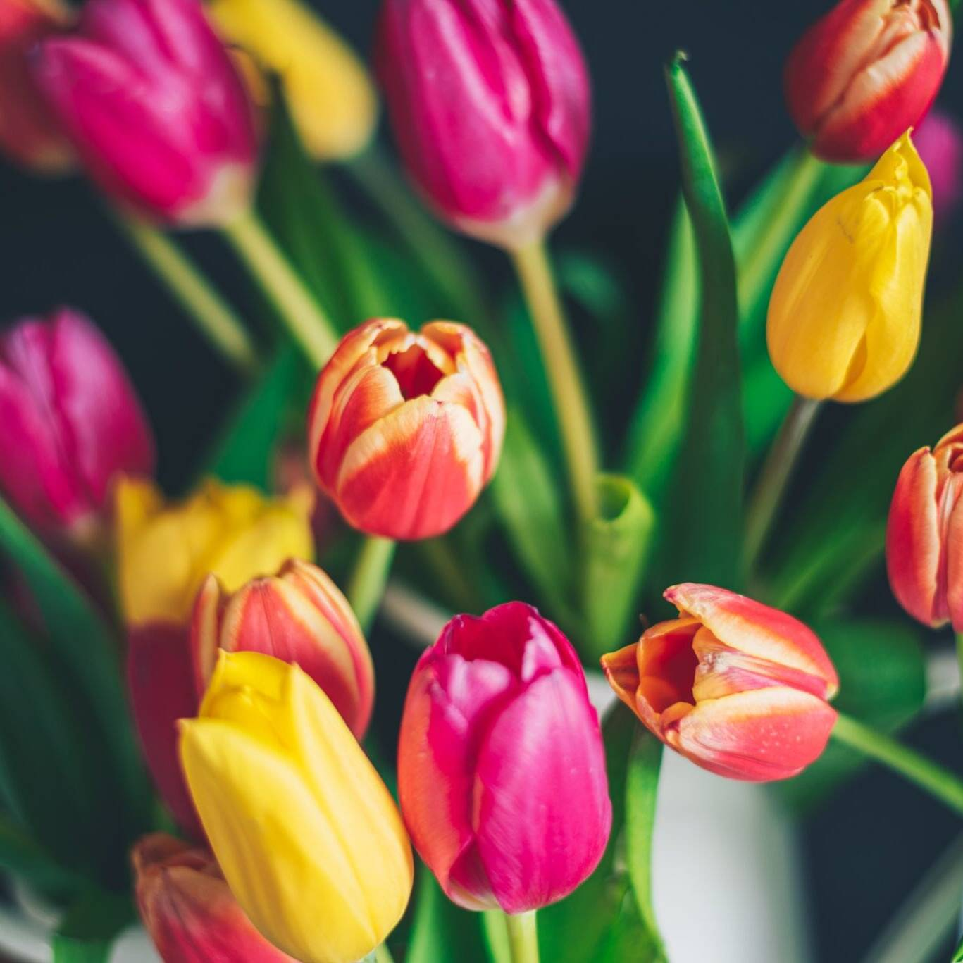 Tulipaner. Foto: Libby Penner